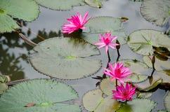 Mooie lotusbloem in vijver Stock Afbeelding