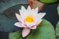 Mooie lotusbloem of waterleliebloem stock afbeeldingen