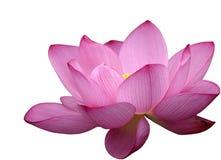Mooie lotusbloembloem Royalty-vrije Stock Foto's