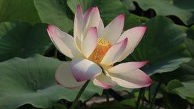 Mooie lotusbloembloem stock footage