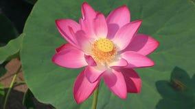 Mooie lotusbloembloem stock videobeelden