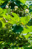 Mooie lotusbloembloem Royalty-vrije Stock Afbeeldingen