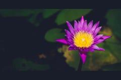 Mooie lotusbloembloem in het bloeien Stock Foto's