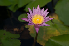 Mooie lotusbloembloem in het bloeien Royalty-vrije Stock Fotografie