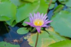 Mooie lotusbloembloem in het bloeien Stock Afbeeldingen