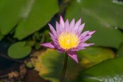 Mooie lotusbloembloem in het bloeien Royalty-vrije Stock Afbeelding