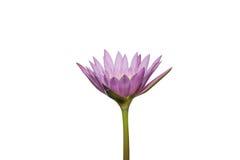 Mooie lotusbloembloem in het bloeien Stock Fotografie