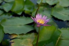 Mooie lotusbloembloem in het bloeien Royalty-vrije Stock Afbeeldingen
