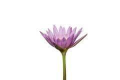 Mooie lotusbloembloem in het bloeien Royalty-vrije Stock Foto