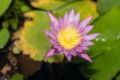 Mooie lotusbloembloem in het bloeien Royalty-vrije Stock Foto's