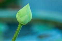Mooie lotusbloembloem in het schot van de poolclose-up Royalty-vrije Stock Afbeelding