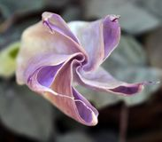 Mooie lotusbloembloem in tuin Lotus-bloemachtergrond Lotus-bloemtextuur royalty-vrije stock afbeelding