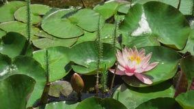Mooie lotusbloembloem in vijver