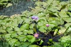 Mooie lotusbloembloesem en bladeren Royalty-vrije Stock Foto