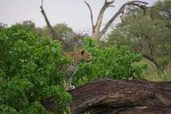 Mooie Luipaard in het letten op van Botswana spel Royalty-vrije Stock Foto