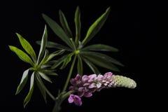 Mooie lupinebloemen royalty-vrije stock foto