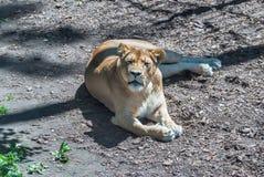 Mooie Machtige Leeuwin Royalty-vrije Stock Afbeelding