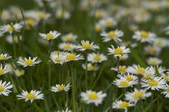 Mooie madeliefjebloemen in wildernis Royalty-vrije Stock Afbeelding