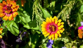 Mooie madeliefjes in de tuin royalty-vrije stock foto's