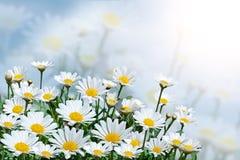 Mooie madeliefjes op een achtergrond van blauwe hemel Gebied met bloeiende bloemen op een Zonnige dag De zomerachtergrond Stock Foto's