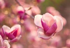 Mooie magnoliabloemen stock afbeelding
