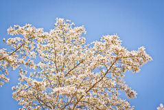 Mooie magnoliaboom Royalty-vrije Stock Foto