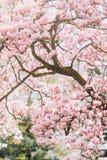 Mooie magnoliaboom in bloei met tedere roze bloemen stock foto's