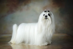 Mooie Maltese hond royalty-vrije stock foto
