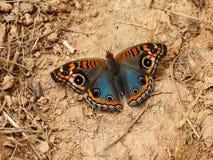 Mooie mangrove buckeye vlinder op droog land stock afbeelding