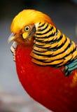 Mooie Mannelijke Gouden Fazantvogel Stock Fotografie