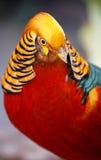 Mooie Mannelijke Gouden Fazantvogel Stock Afbeeldingen