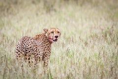 Mooie mannelijke jachtluipaard royalty-vrije stock afbeeldingen
