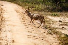 Mooie mannetje bevlekte herten die zich op de weg bevinden Royalty-vrije Stock Foto