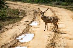 Mooie mannetje bevlekte herten die zich op de weg bevinden Stock Afbeelding