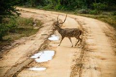 Mooie mannetje bevlekte herten die zich op de weg bevinden Stock Afbeeldingen