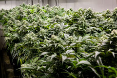 Mooie marihuanainstallaties Stock Fotografie