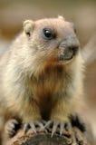 Mooie marmot Stock Afbeelding