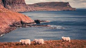 Mooie mening aan sheeps op de kust, Schotland, het UK Stock Foto's