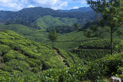 Mooie mening van de theeaanplantingen Stock Afbeelding