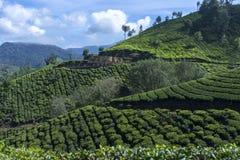 Mooie mening van de theeaanplantingen Stock Foto's