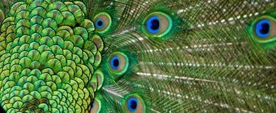 Mooie mening van de veren van de pauwstaart Royalty-vrije Stock Afbeeldingen