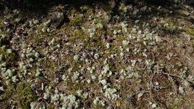 Mooie mening van grond boslandschap De groene bomen, blauw mos, gevallen naalden van bomen, oude boomwortels maken mooie aard stock videobeelden