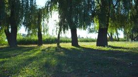 Mooie mening van leeg groen park op zonnige dag Warme zonnestralen die gebladerte van bomen in tuin verlichten Helder zonlicht stock videobeelden