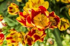 Mooie mening van oranje tulpen & zonlicht Royalty-vrije Stock Fotografie