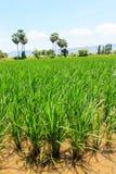 Mooie mening van rijstinstallatie Stock Afbeeldingen