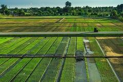 Mooie mening van rijstzaailingen op het gebied in Suphanburi Thai stock foto's