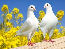 Mooie mening van twee witte duiven op toppositie met gele bloeiende raapzaadachtergrond en blauwe hemel, keizerduif, ducula stock foto's
