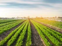 Mooie mening van wortelaanplanting het groeien op een gebied Organische groenten farming Landbouw Selectieve nadruk royalty-vrije stock foto