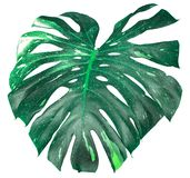 Mooie minimale installatie, monstera groene die bladeren op witte achtergrond, gebruik voor minimaal actueel stijlkunstwerk worde stock fotografie