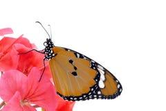 Mooie Monarch Stock Foto